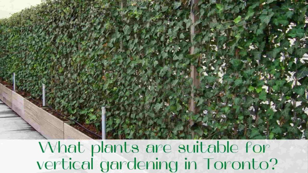 image-What-plants-are-suitable-for-vertical-gardening-in-Toronto
