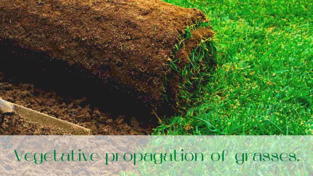 image-Vegetative-propagation-of-grasses